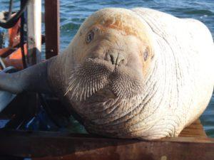Juvenile Walrus Visiting