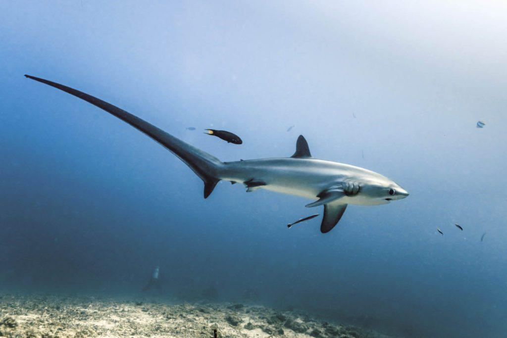 Thresher Shark - Malapascua Philippines