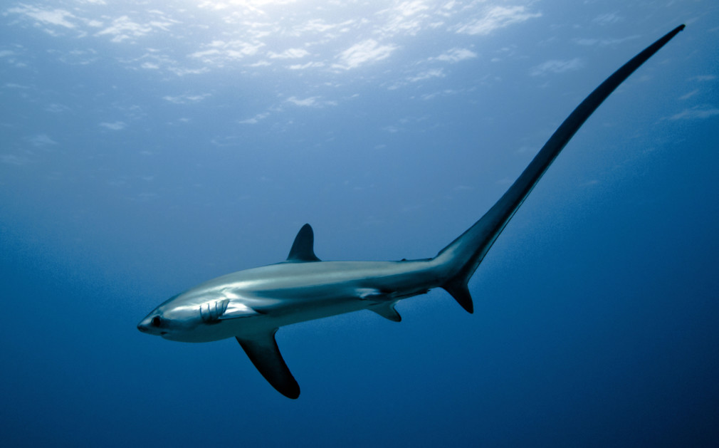 Malapascua Thresher Shark Philippines Scuba Diving