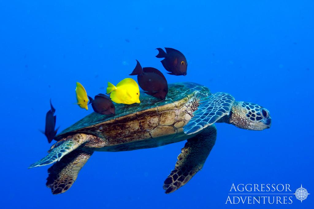 Hawaii Green Turtle Kona Aggressor II