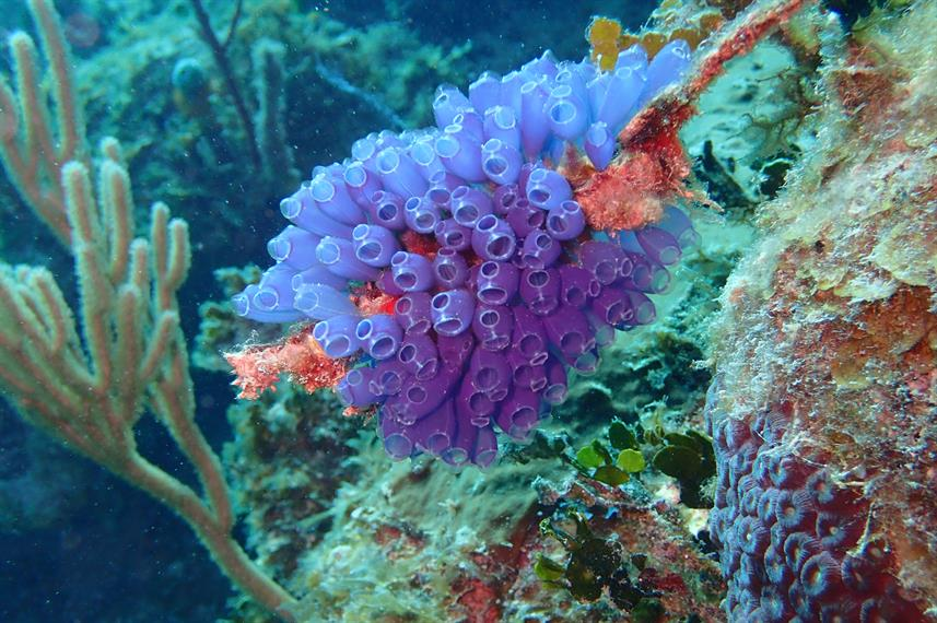 Bluebell Tunicates Roatan