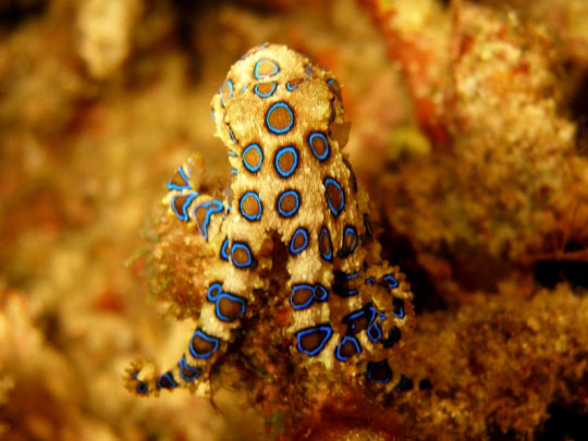 Komodo Island Liveaboard Blue-Ringed Octopus