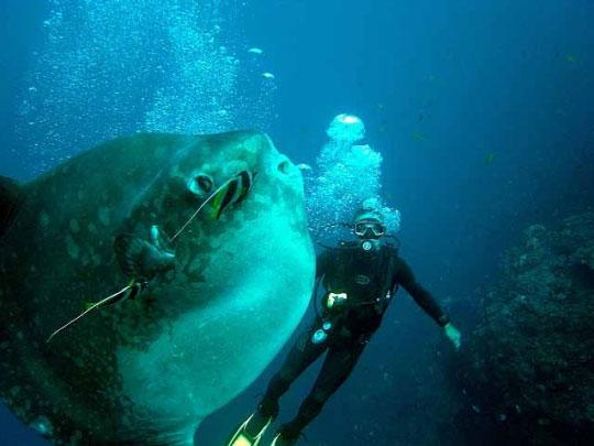 Bali mola-mola