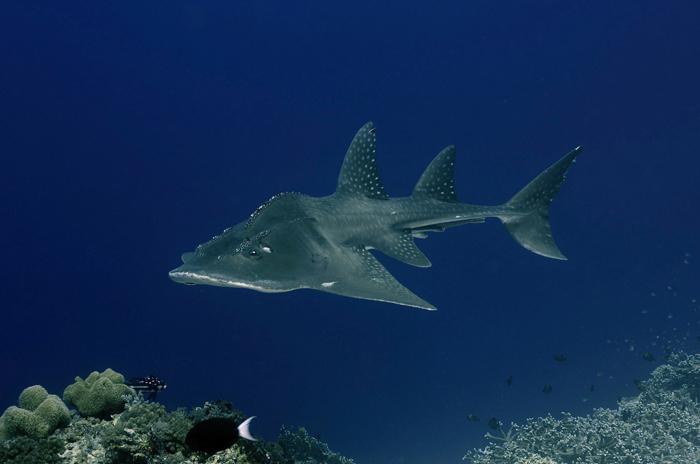 Tubbataha Liveaboard Dive Trip Guitar Shark