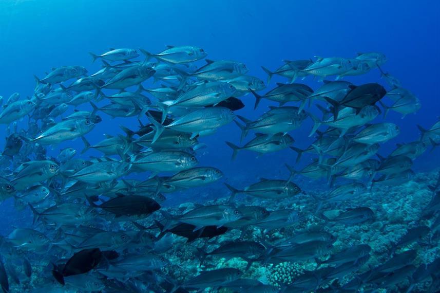 Solomon Island Jacks