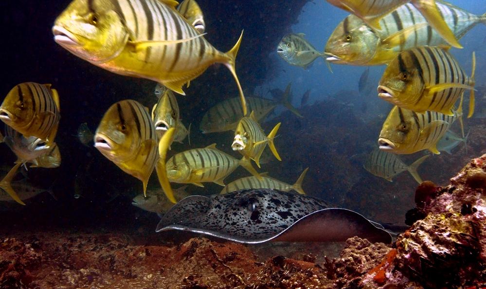 Seychelles Stingray and Golden Trevallies Seychelles Scuba Diving