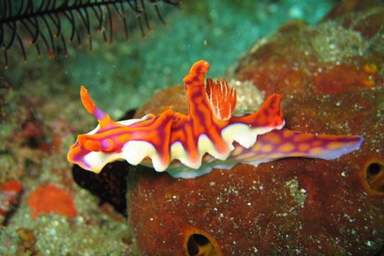 Nudibranch - Banda Islands Indonesia