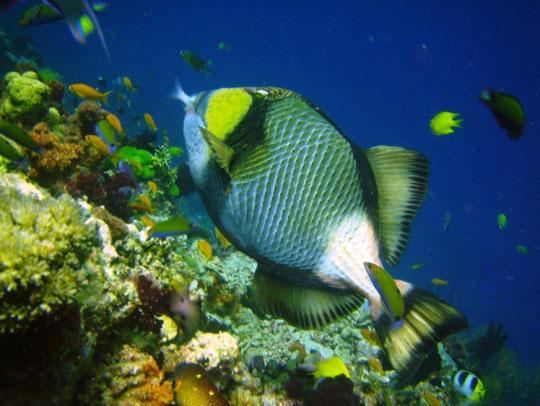 Titan Triggerfish Phuket Thailand Liveaboard Diving