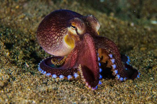 Lembeh Octopus Lembeh Strait Indonesia
