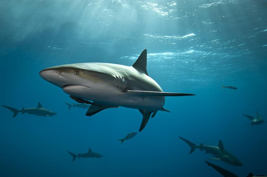 Caribbean Reef Sharks - The Bahamas Liveaboard Diving