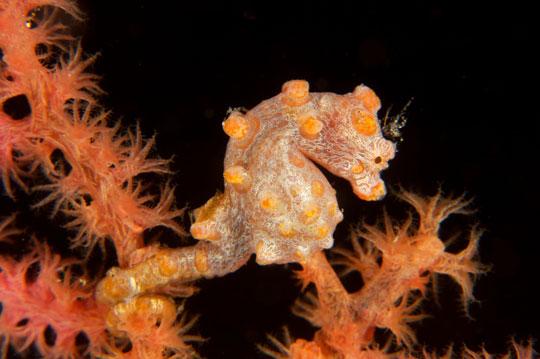 Pygmy Seahorse - Lembeh Strait Sulawesi Indonesia