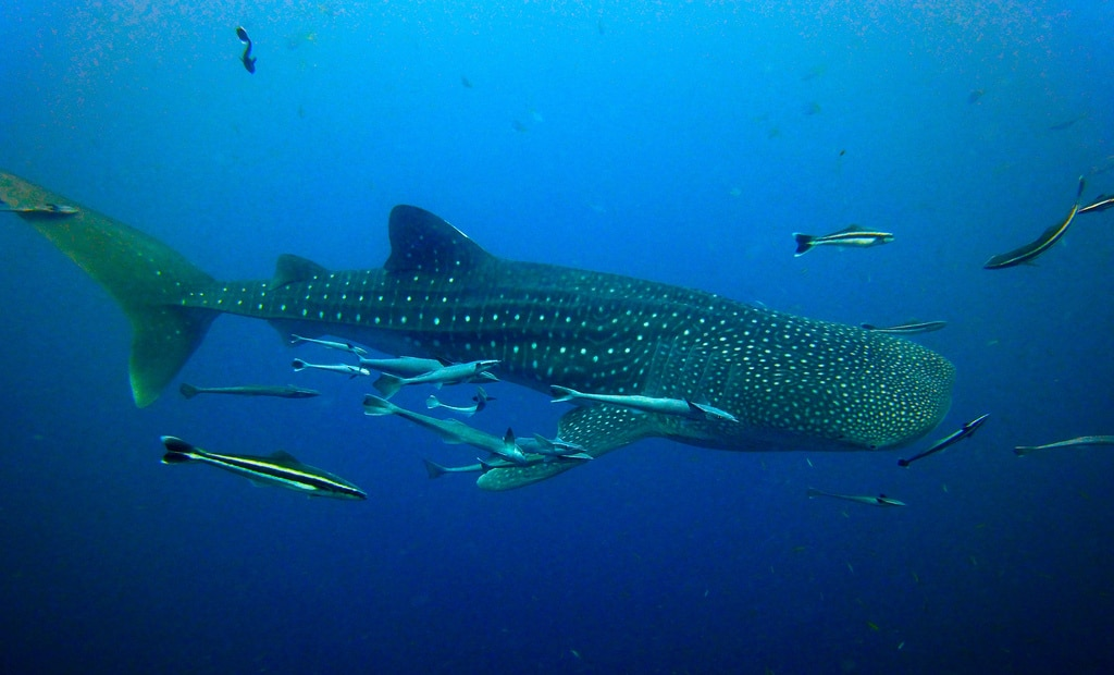 Djibouti Whale Shark