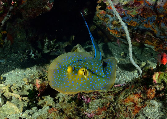 Blue Spotted Stingray Koh Tao Thailand
