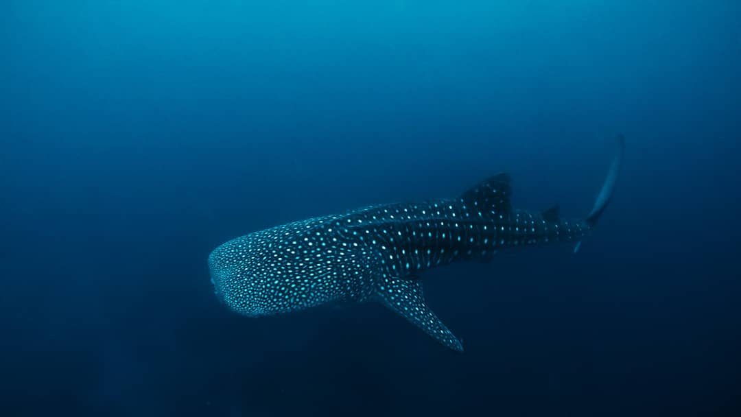 Sogod Bay Whale Shark Southern Leyte Scuba Diving