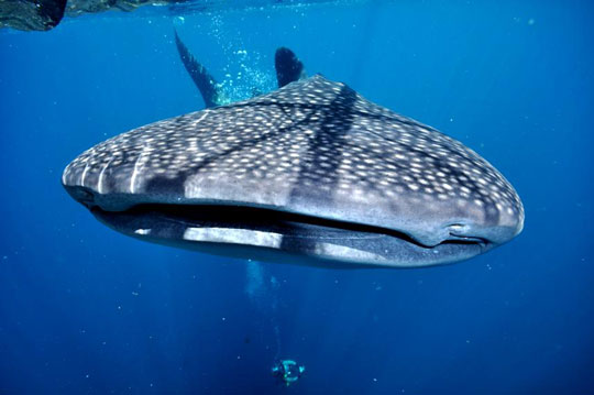 Cenderawasih Bay - Whale Shark Indonesia Liveaboard Diving