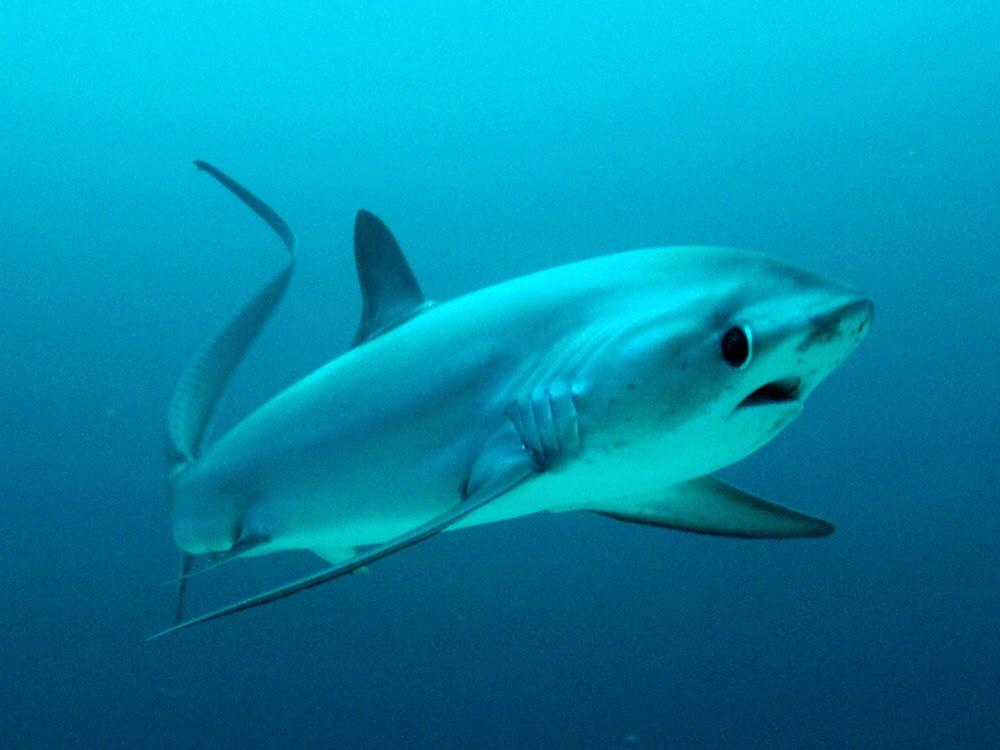 Thresher Shark - Malapascua Philippines