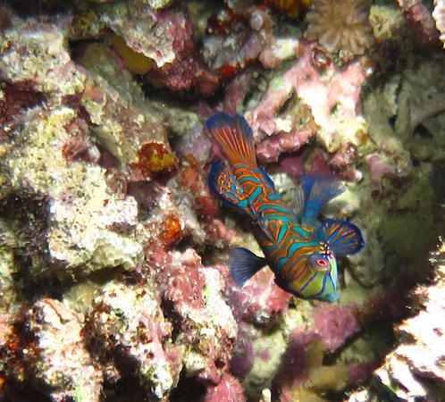 Mandarin Fish - Anda, Bohol Philippines Scuba Diving