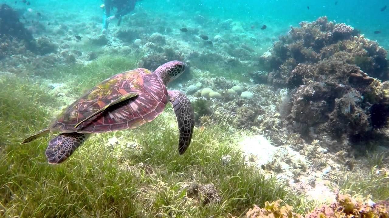 Cabilao Island Hawksbill Turtle Philippines Scuba Diving