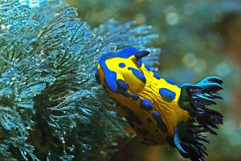 Nudibranch - Poor Knights Islands, New Zealand