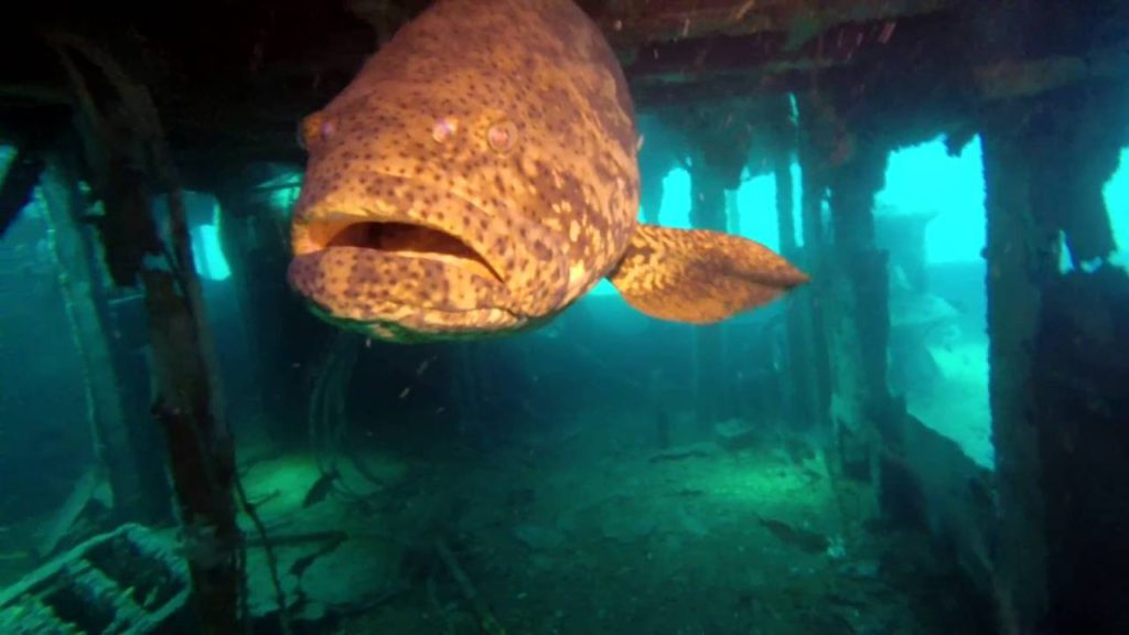 USS Accokeek - Goliath Grouper Panama City Florida