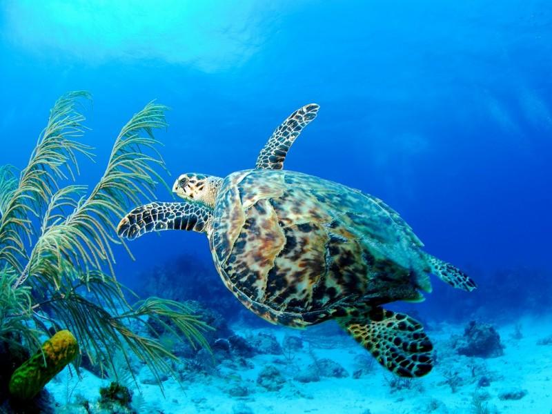 Hawksbill Turtle - Barbados