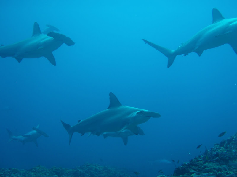 Scalloped Hammerheads - Green Island, Taiwan