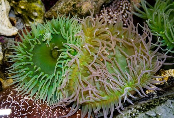 San Juan Islands - Tidal Pool Anemones