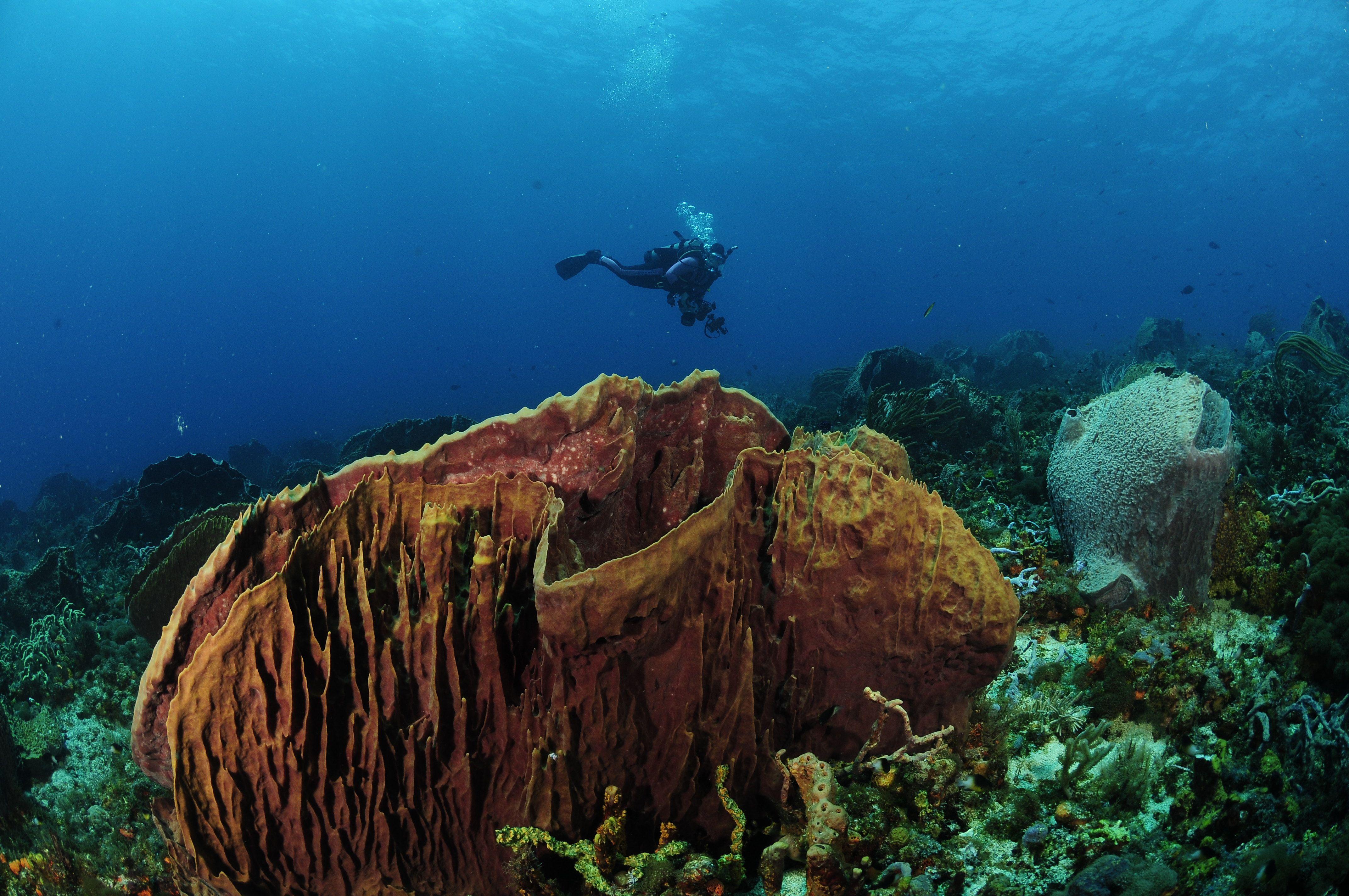 Tobago Barrel Sponge