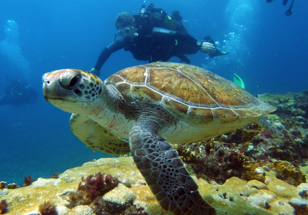 Cape Verde - Loggerhead Turtle