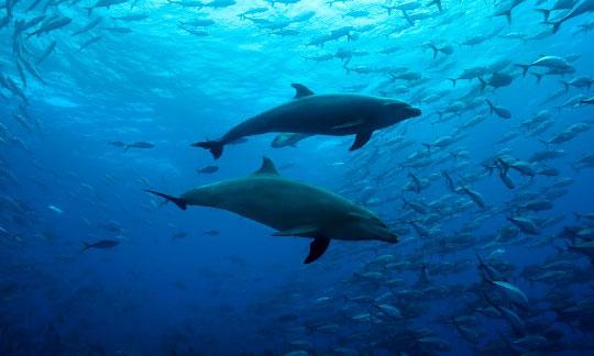 Cocos Island Dolphins