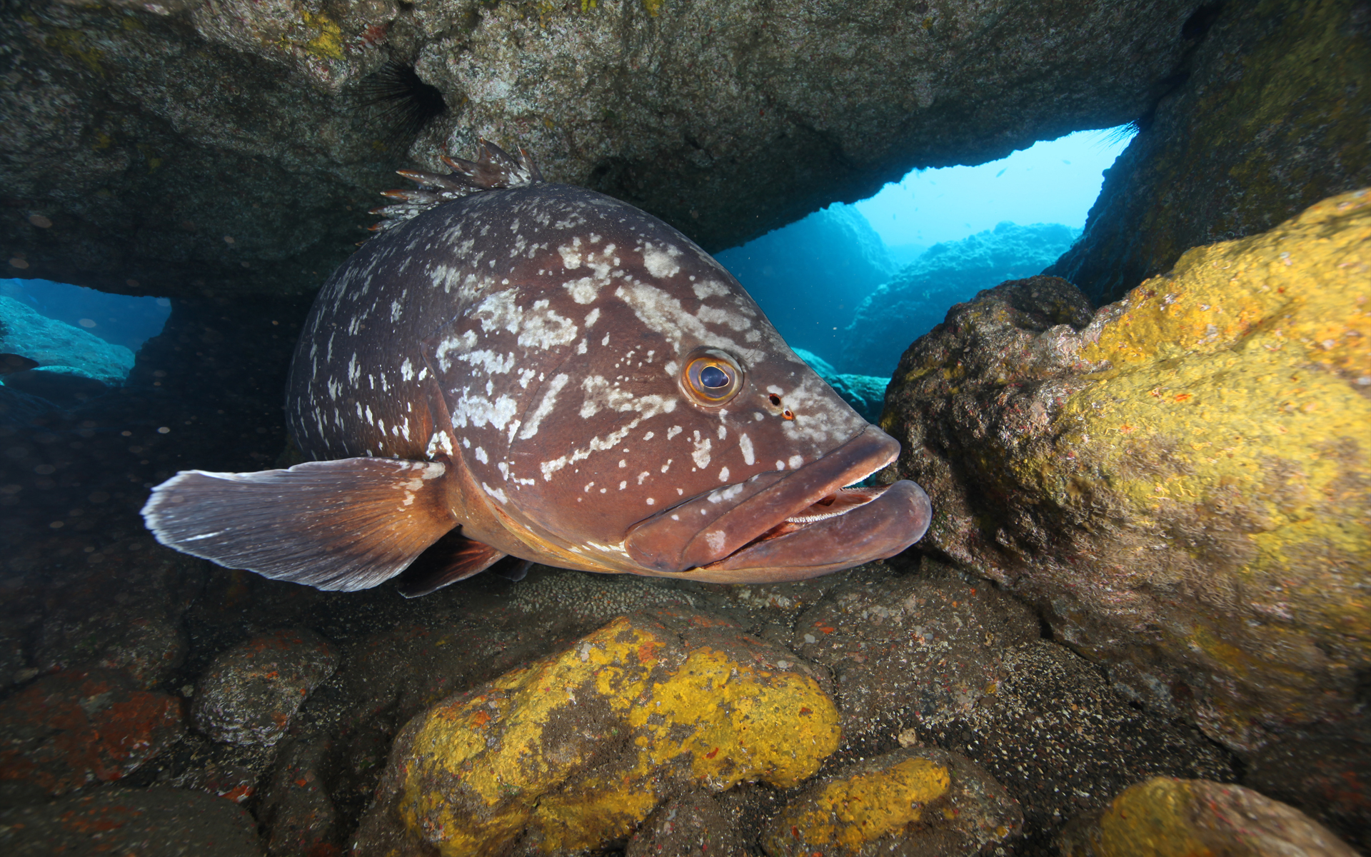 Madeira Islands Grouper