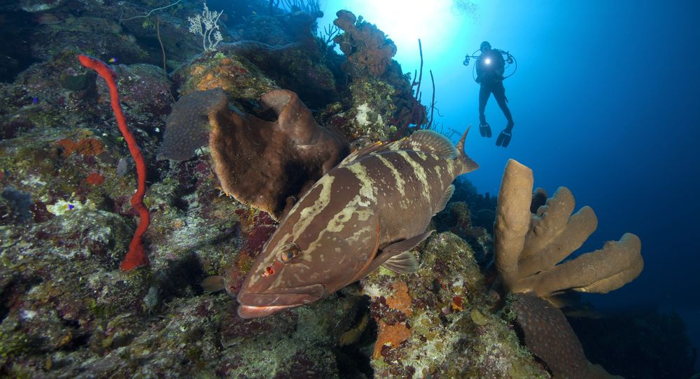 Cayman Islands Grouper