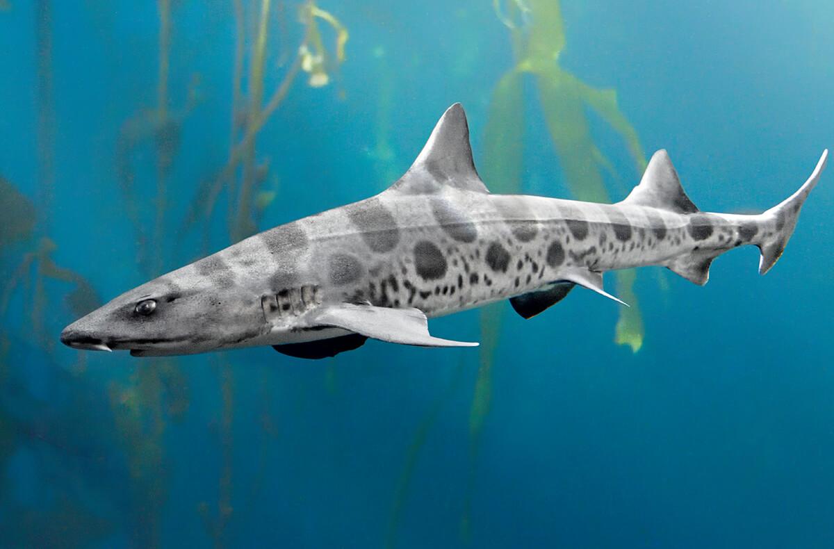 La Jolla Shores Leopard Sharks