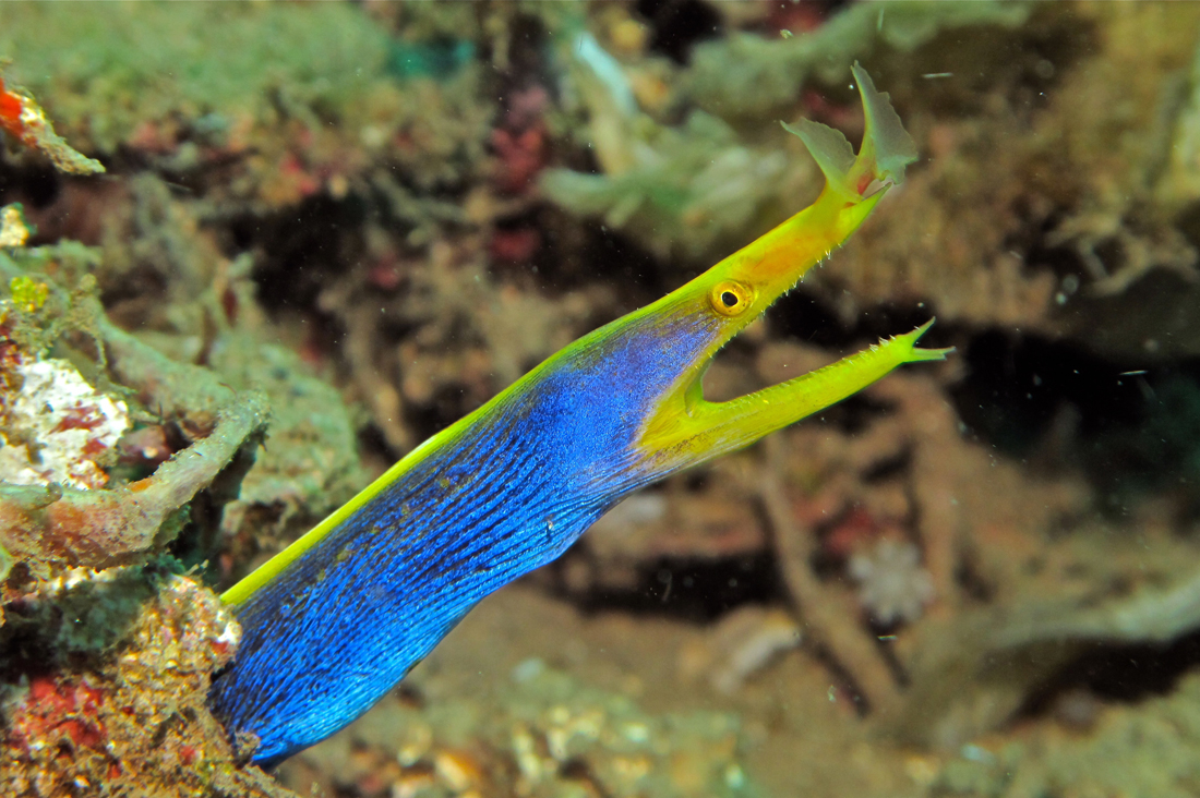 Blue Ribbon Eel - Siquijor Island, Philippines