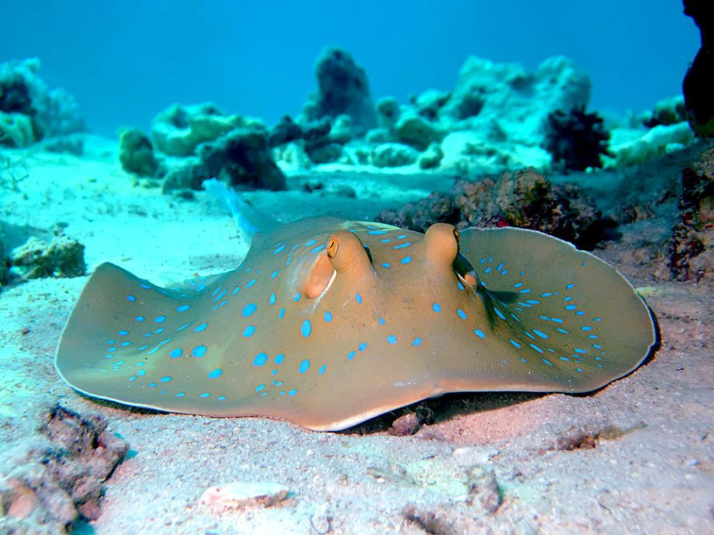 Bluespotted Stingray - Zanzibar