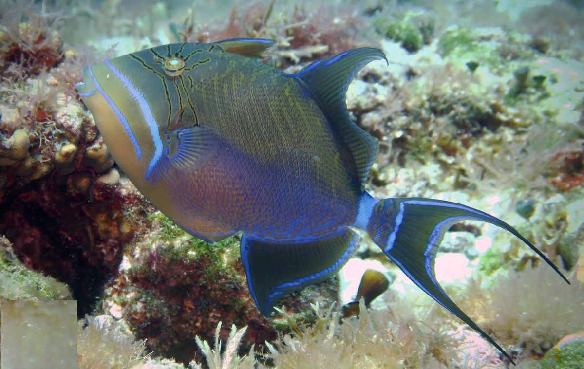 Queen Triggerfish - Cozumel, Mexico