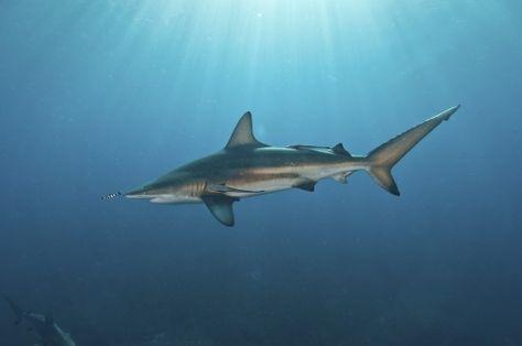 Oceanic Blacktip Shark - Aliwal Shoal, South Africa