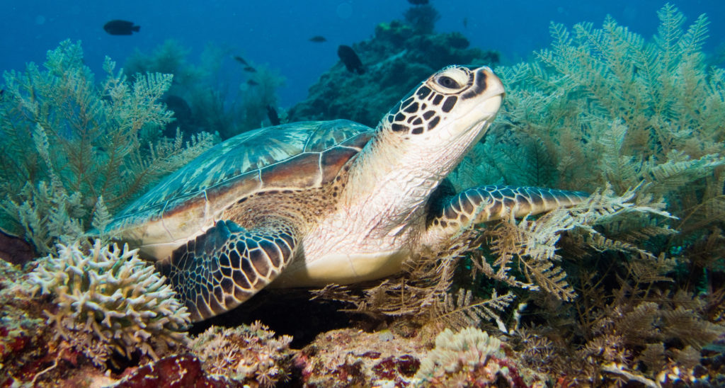 Green Turtle - Gili Islands, Indonesia
