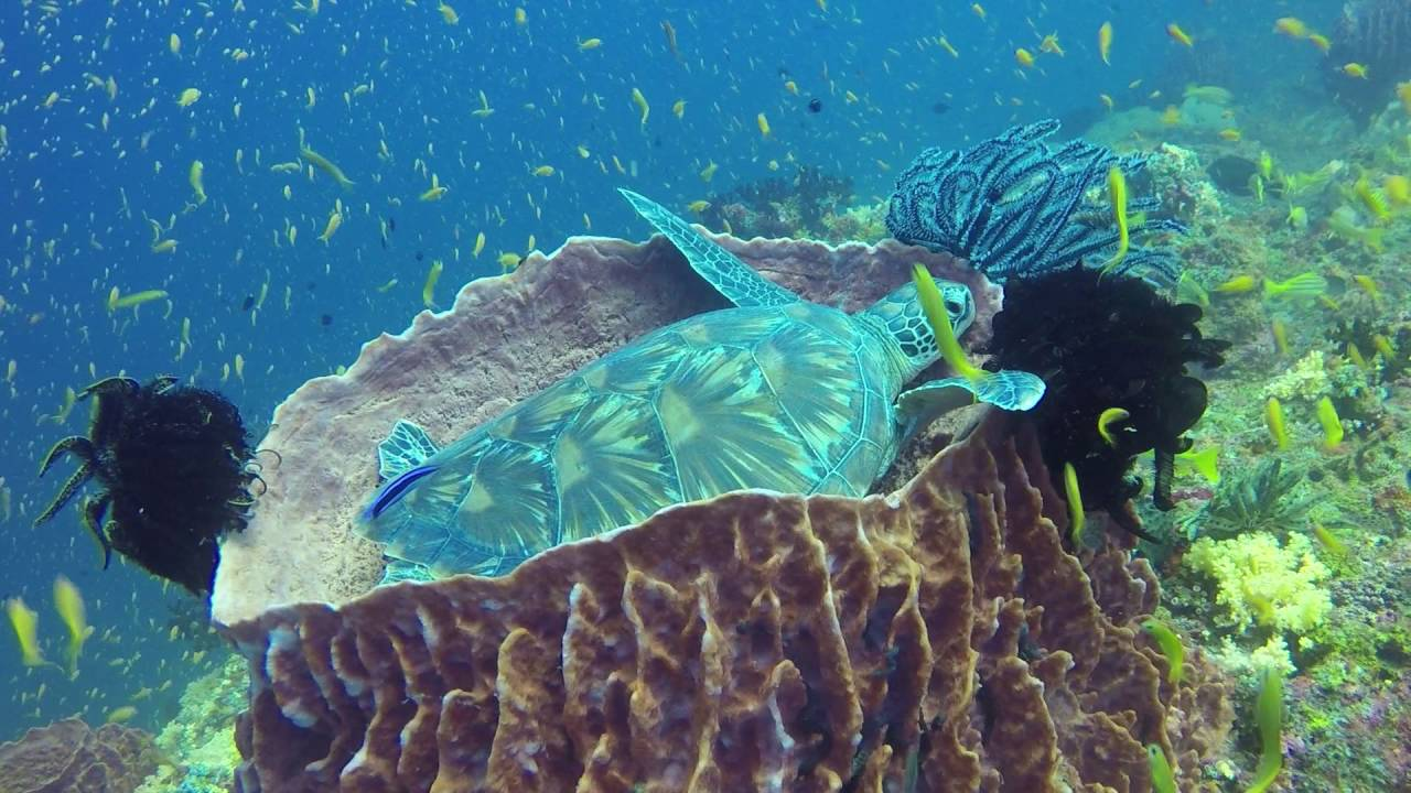 Andaman Islands - Green Turtle in a Barrel Sponge