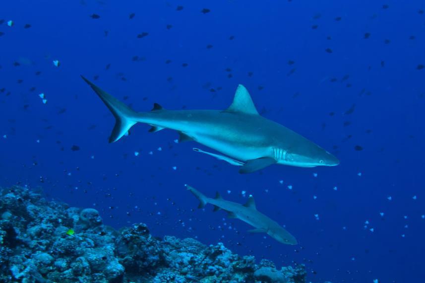 Blue Corner Sharks - Palau, Micronesia