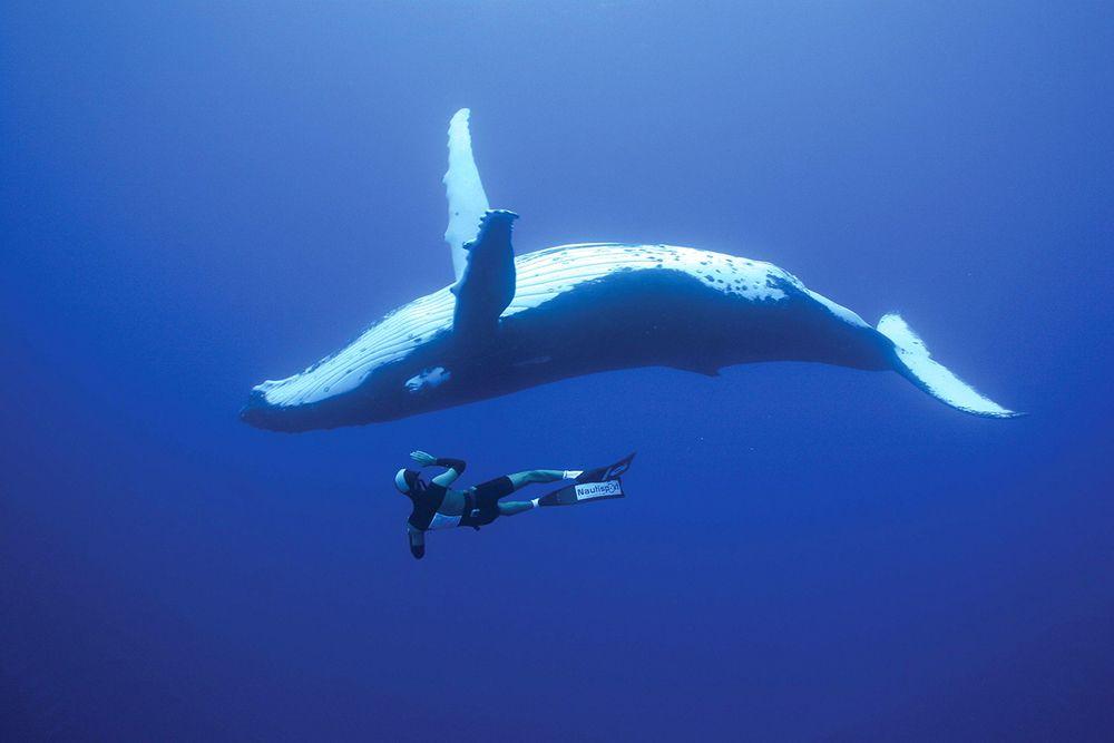 Humpback Whale - Tonga