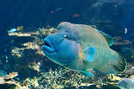 Maori Wrasse - Cook Islands Scuba Diving