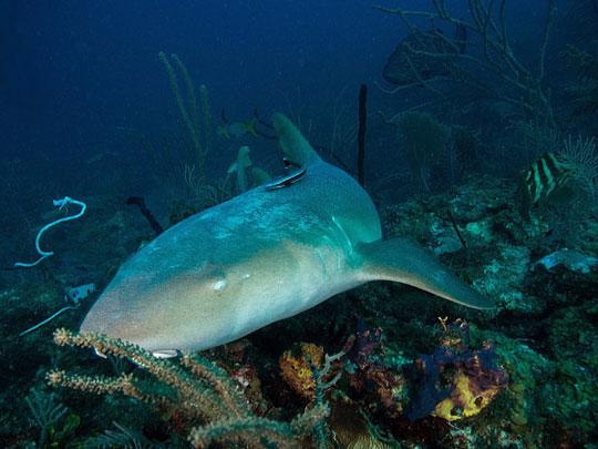 Tawny Nurse Shark - Cuba