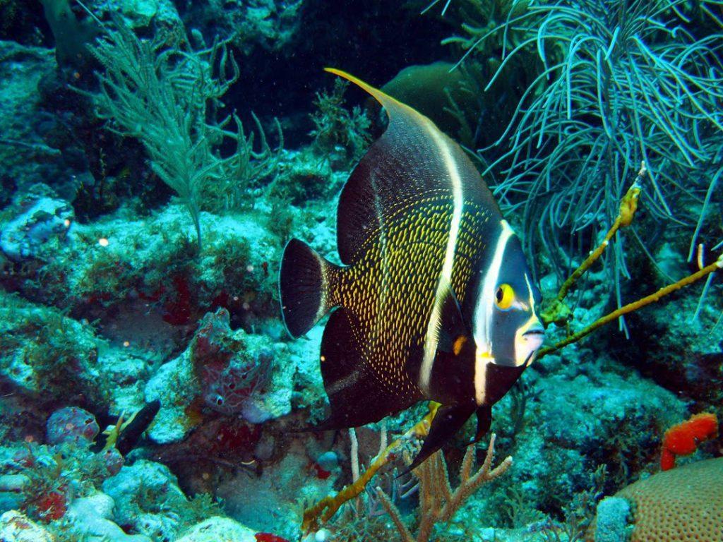 French Angelfish - Anguilla