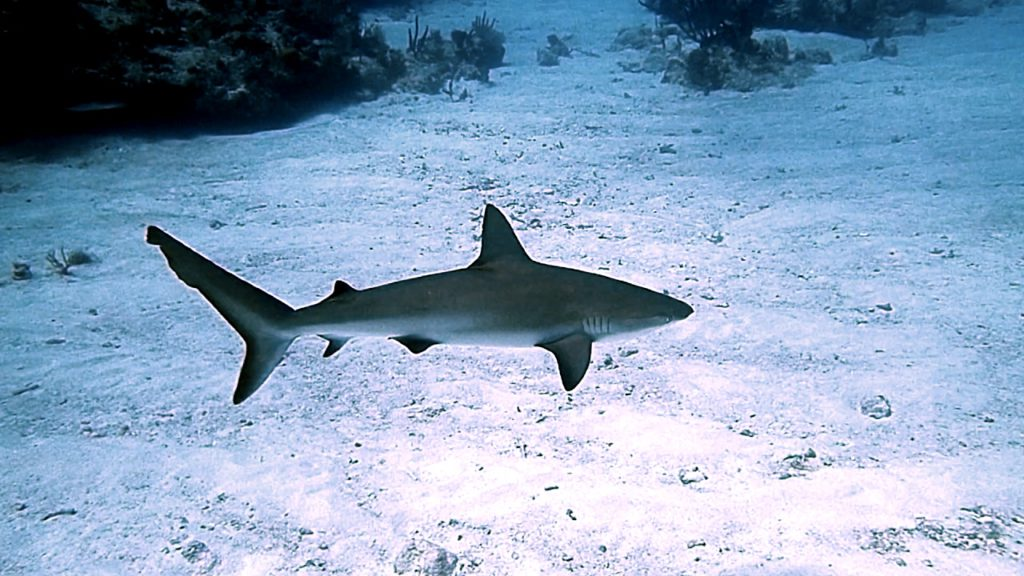 Caribbean Reef Shark - Antigua and Barbuda