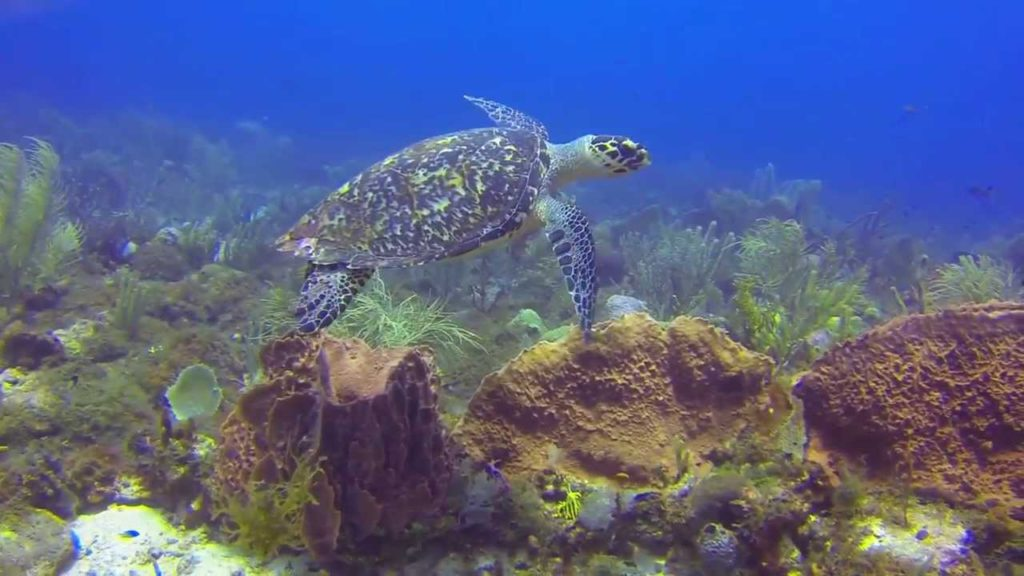 Hawksbill Turtle - Antigua and Barbuda
