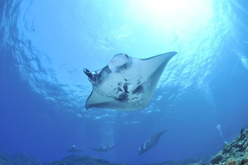 Manta Ray - Gulf of Oman