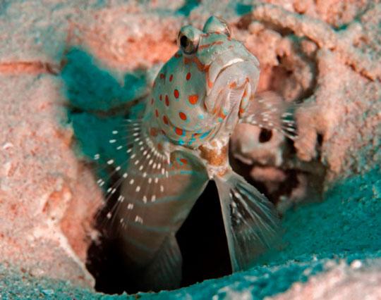 Spotted Shrimp Goby - Sharm el Sheikh, Egypt