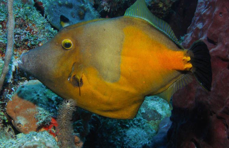 Triggerfish - Guadaloupe