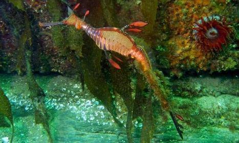 Weedy Sea Dragon - Tasmania
